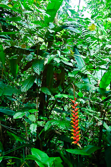 As green as can be with Heliconia, Kinabatangan, Borneo, Malaysia.