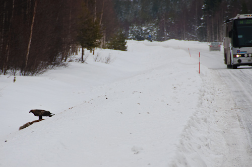 Life and death to a Golden Eagle, Fredrika, Sweden.