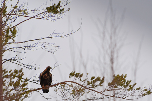 Survival of a Golden Eagle, Fredrika, Sweden.