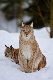 Female Lynx with cub, Lycksele, Sweden.