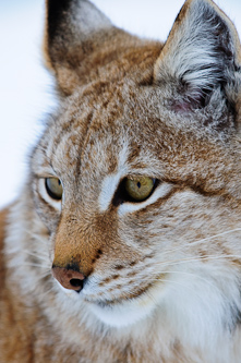 The cunning Lynx, Lycksele, Sweden.