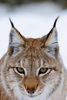Portrait of Lynx, Lycksele, Sweden.