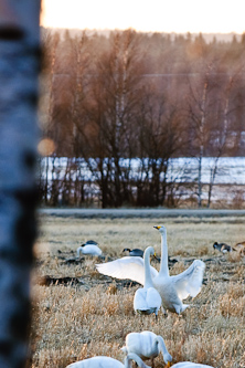 Gracious battles of the swans, Umeå, Sweden.