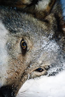 Sedated wolf waits for a GPS-collar, Skarda, Sweden.