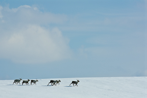 Running towards the calving ground, Skäckerfjällen, Sweden.