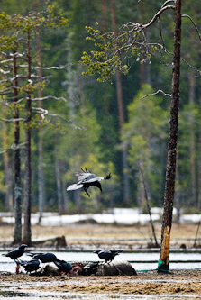 Ravens on a carcass, Kuhmo, Finland.