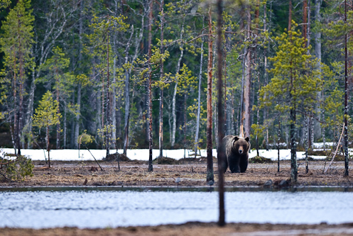 The bear is always browner on the other side, Kuhmo, Finland.