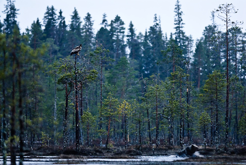 The eagle and the bear, nightlife on the Russian border, Kuhmo, Finland.