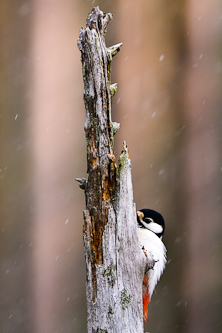 Great Spotted Woodpecker spy, Kuhmo, Finland.