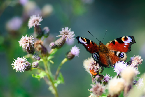 The European Peacock butterfly lusts for nectar, Kärrtorpssjön, Sweden.
