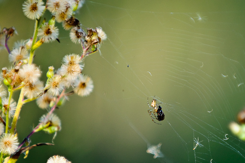 Feeding spider, Urdaibai, Basque, Spain.